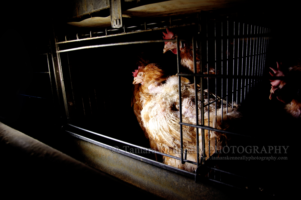 Where Bobby lived for the first year and a bit of her life. In a cage with five other hens. Seen as only an egg machine.